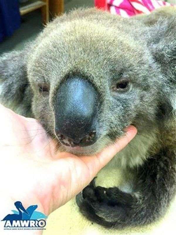 Австралійці допомагають коалам, що отримав опіки (7 фото)