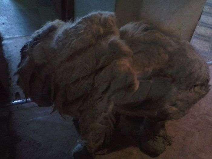 За рік собака, замкнена в квартирі, перетворилася в кошлате чудовисько (19 фото)