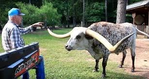 Бык Пончо — новый рекордсмен по длине рогов Интересное