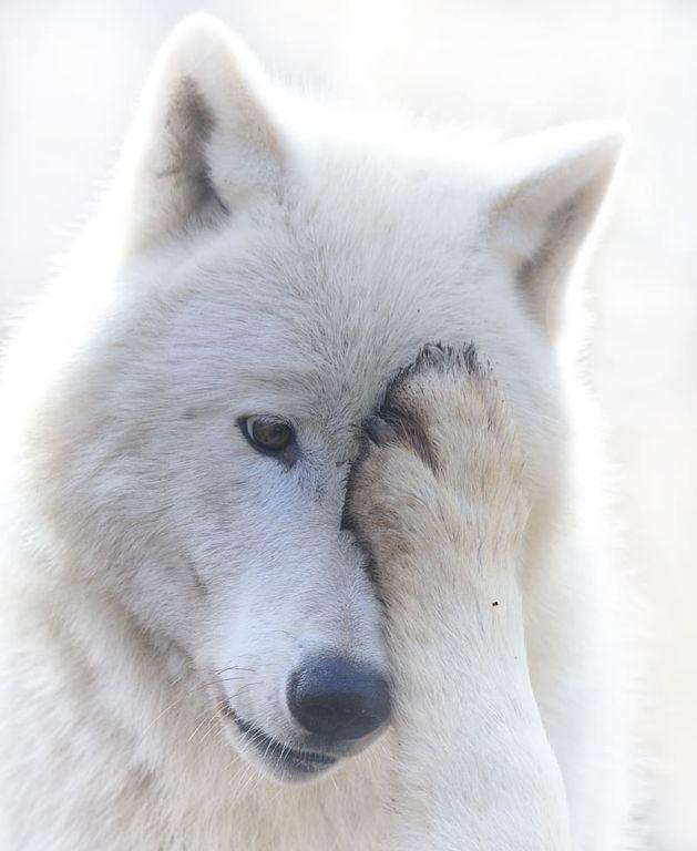 18 фото волкопсов, после которых тоже хочется завести себе большую собаку зверушки,живность,питомцы, Животные