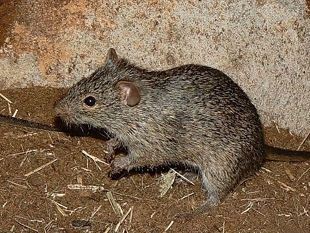 Травяная мышь, или нилотская травяная мышь зверушки,живность,питомцы, Животные