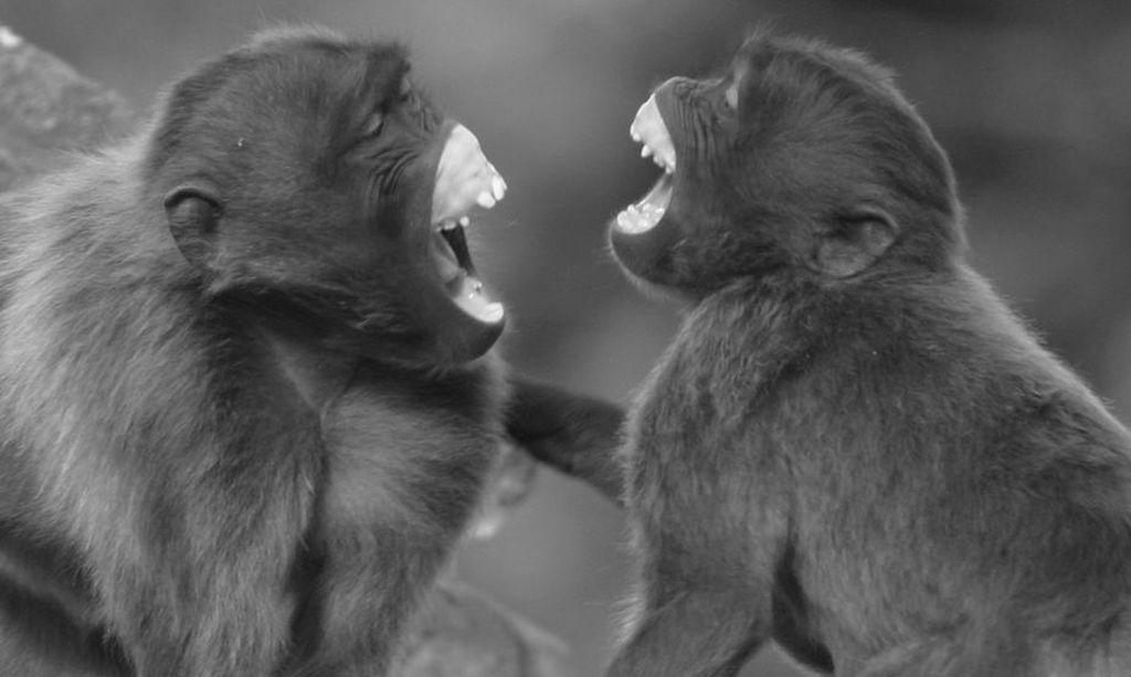 Зачем бируанги «корчат рожи», копируя мимику соседа? зверушки,живность,питомцы, Животные