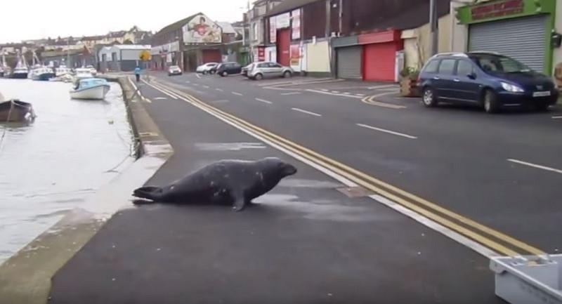 Тюлень Сэмми повадился ходить в рыбный ресторан зверушки,живность,питомцы, Животные
