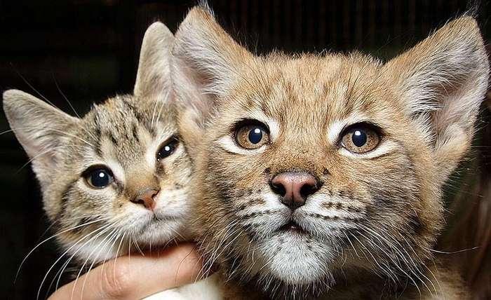 Кошка Дуся подружилась сдикой рысью иживет сней взоопарке уже 12лет Интересное