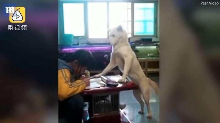 Мужчина обучил своего пса следить за тем, чтобы дочка делала уроки и не отвлекалась Интересное