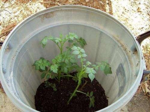 Интересный способ выращивания картофеля, когда место под посадку ограничено.