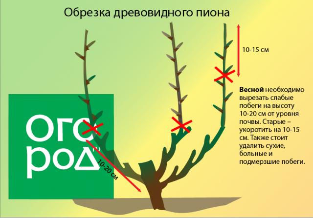 Секреты посадки и выращивания древовидного пиона цветы