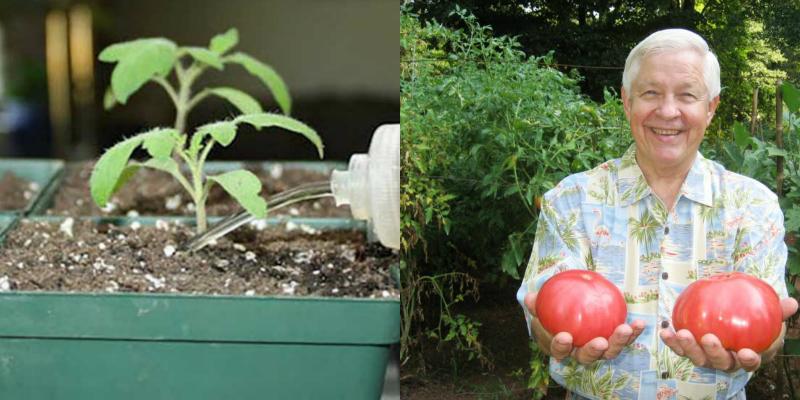 Не совсем обычный, но действенный способ подкормки рассады огород