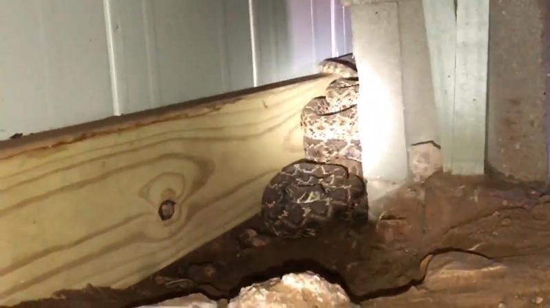 Семья обнаружила под домом страшный сон любого, кто боится змей